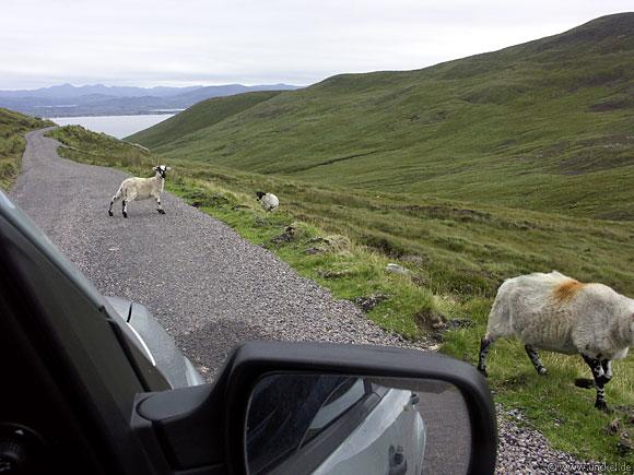 Nicht selten trifft man Schafe auf der Straße an, Ireland - Éire 2006