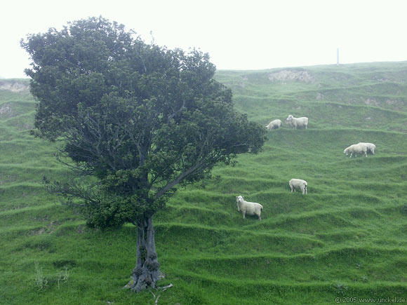 In Neuseeland gibt es mehr Schafe als Menschen, New Zealand - Aotearoa 2004/05
